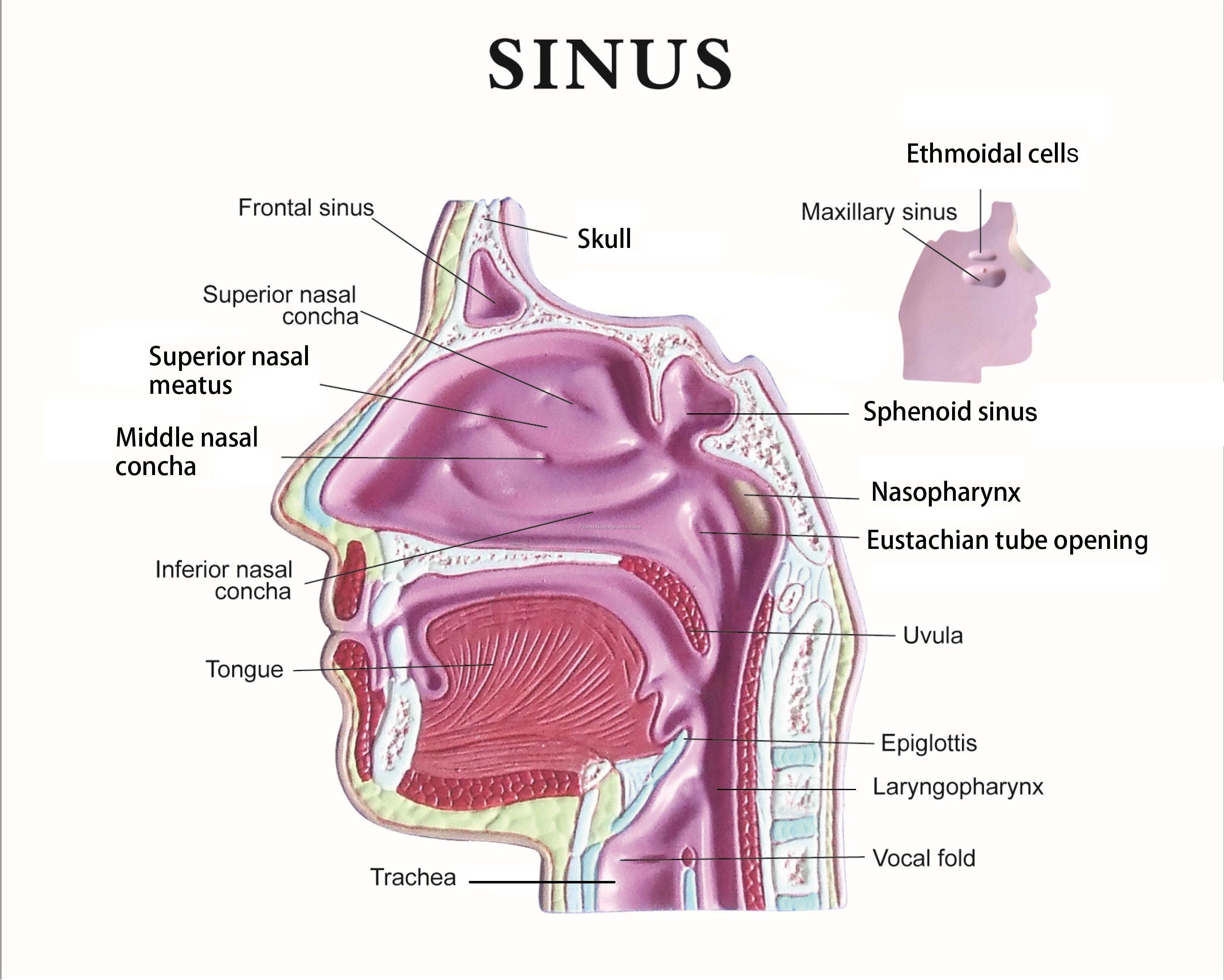 Anatomical Sinus Model China Wholesale  #MA55178698